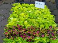 選べる花①コリウス3色