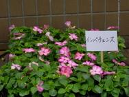 選べる花②インパチェンス(桃)
