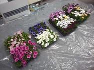 選べるお花はオステオスペルマムとペチュニア。