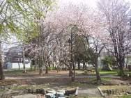 めぐみの森公園<サクラとコブシ>5/1