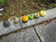 おまけ≫一緒に植えたおもちゃかぼちゃも収穫☆彡