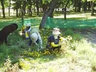 そして、収穫作業!!まずはダイヤーズカモミール。