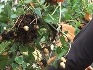 試しに植えた落花生。抜いたら実が出来てました!!