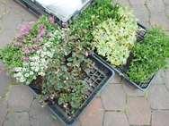 寄せ植えする花苗を選びます。