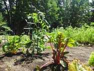 お楽しみコーナーの野菜たちも元気に育っています♪
