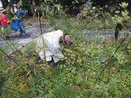 台風で寝てしまったタンジーやフェンネルを中心に収穫☆